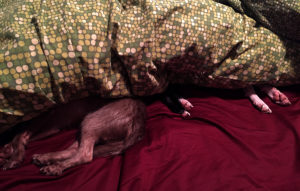 Dogs chillin'. Asleep under the covers.